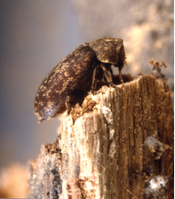 Deathwatch Beetle